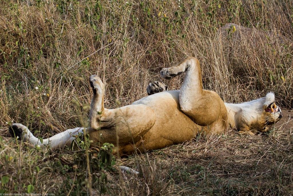 Leoaica cu pui_septembrie18_Serengeti_03