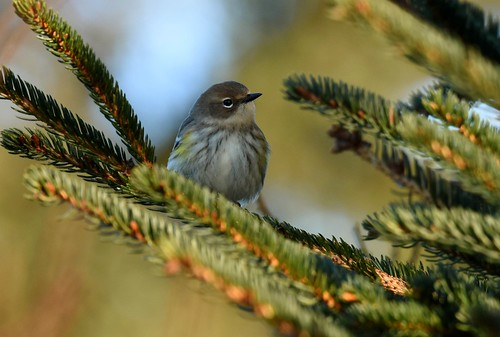 like a little yellow-rumped Christmas tree ornament | by angelagranchelli
