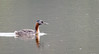 Great Grebe by mathurinmalby