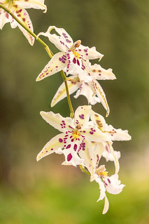 Orchids | by mclcbooks