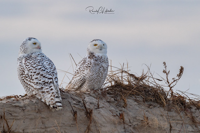 Snowy Owls of New Jersey | 2018 - 32