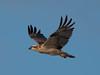 Osprey / Fischadler (Pandion haliaetus) by ralph_behrens