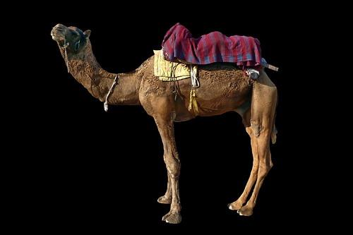 india rajasthan pushkar camel asienmanphotography asienmanphotoart