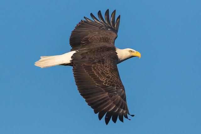 Bald Eagle at Conowingo Dam-70
