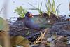 Purple Gallinule (Porphyrio martinicus) by Ron Winkler nature
