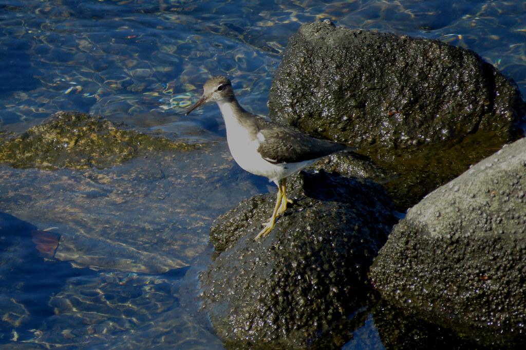 Spotted Sandpiper on Ballona Creek