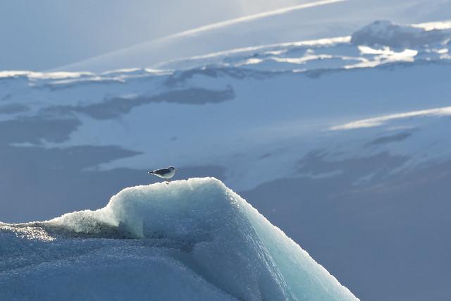 glacier gull