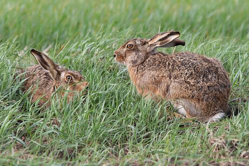 European Hare (Lepus europaeus) | by Photography by Matt Latham