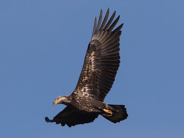 Bald Eagle at Conowingo Dam-59