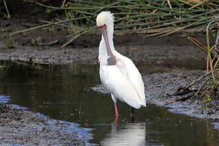African spoonbill | by dmmaus