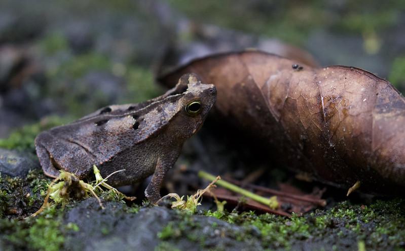 Rhinella sp, Leaf Frog Ascanio_Panama 199A8727
