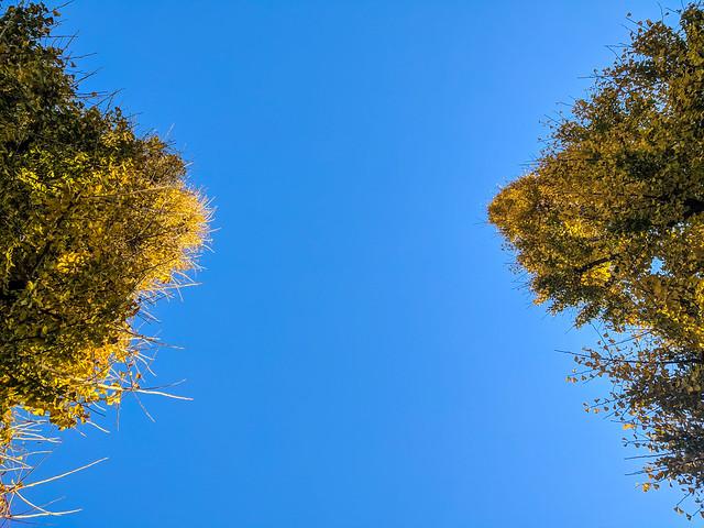 #334 Ginko trees