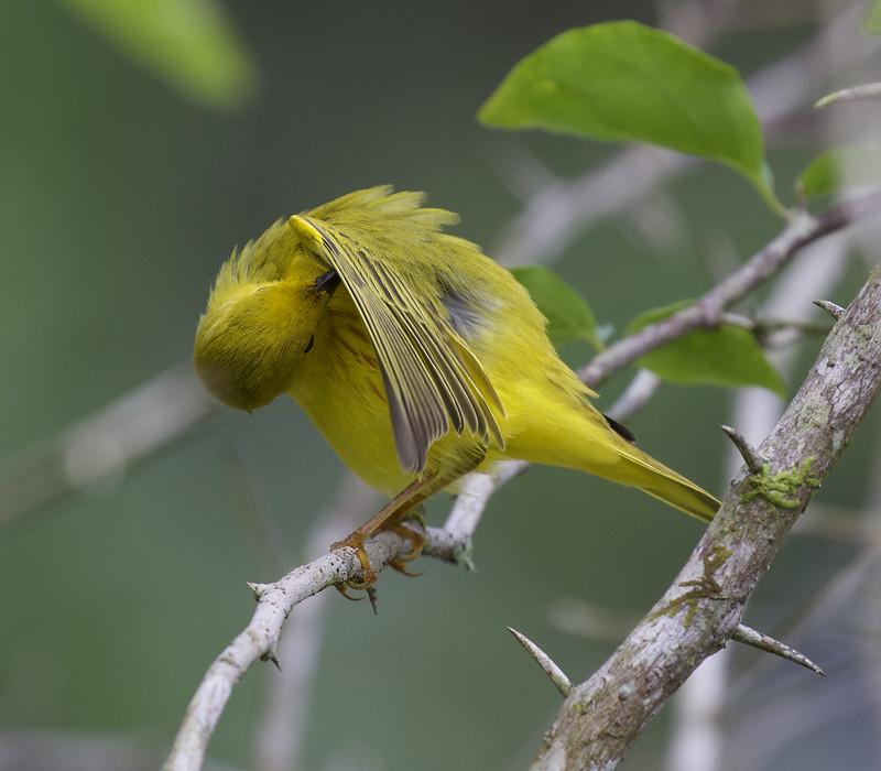 Yellow Warbler, Setophaga petechia Ascanio_Panama 199A8841