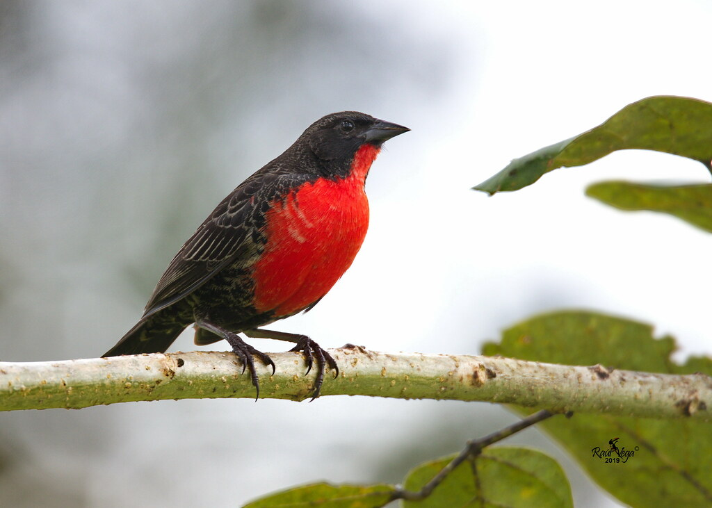 Tordo Pechirrojo - Red-breasted Blackbird - (Sturnella militaris)