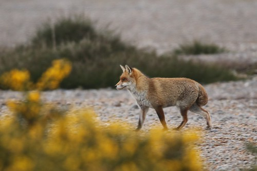 Red Fox  on the Frozen Shingle Dungeness RSPB | by GrahamParryWildlife