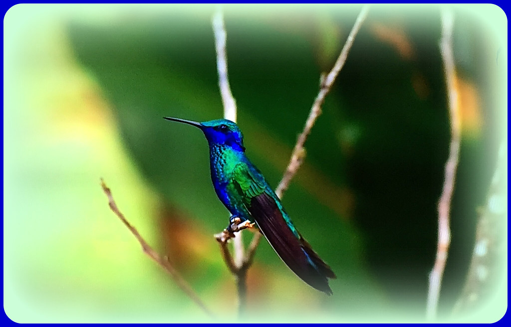 Swallow-tailed hummingbird (Eupetomena macroura) - not humming at the moment!