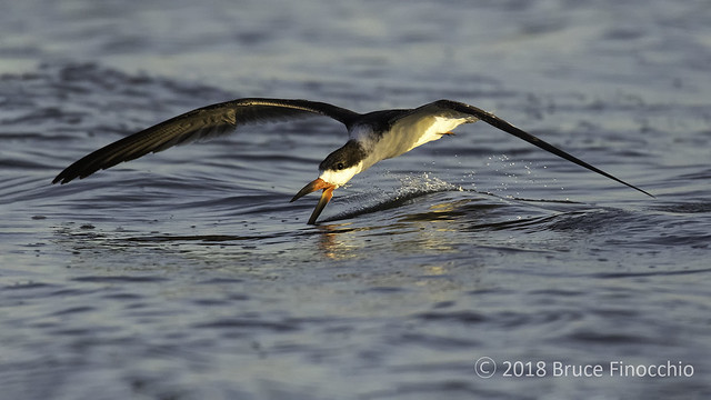 Black Skimmer Skimming For Food On Shallow Waters Of SF Bay