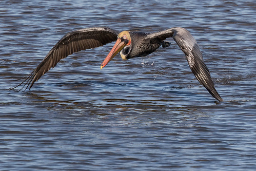 bif bolsachica bolsachicaecologicalreserve pelecanusoccidentalis bird brownpelican pelican takeoff wetlands wildlife