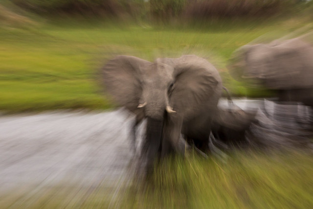 Zoom Bursting Elephant