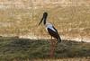 Black-necked Stork (Ephippiorhynchus asiaticus) (Ephippiorhynchus asiaticus asiaticus) by Francisco Piedrahita