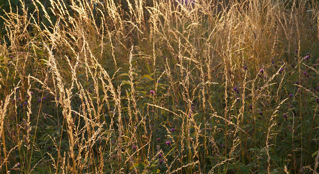 2018_07_19 P1000396 evening grass & pengaled