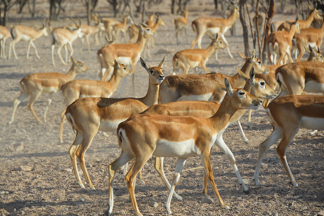 Arabian Sand Gazelle (Gazella marica)