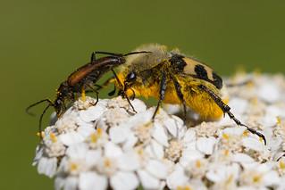 Bee Beetle (Trichius fasciatus) | by Wildlife Photography by Matt Latham