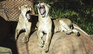 Two lionesses are less than excited about their chance to star in a photo shoot at the Santa Barbara, California, zoo. Original image from Carol M. Highsmith's America, Library of Congress collection. Digitally enhanced by rawpixel.