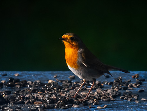 Evening, Sir Robin | by Cagey75