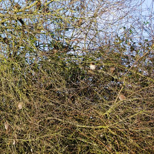 Sparrows gathering, Bridgnorth