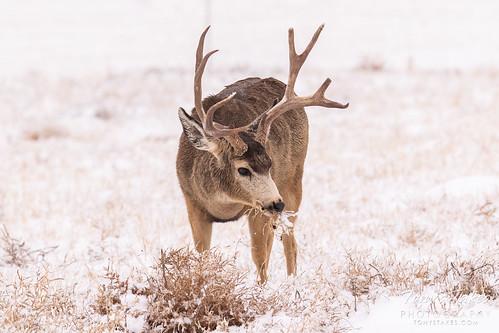 Big boy mule deer buck   by TonysTakes
