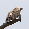 White-backed Vulture, Gyps africanus, at Kgalagadi Transfrontier by Derek Keats