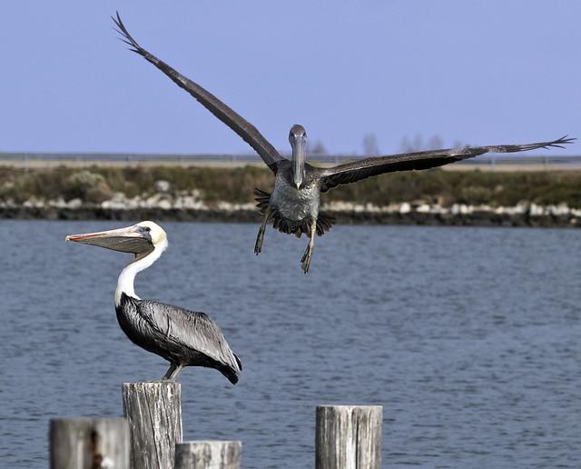 Pelican birds Hampton Va.