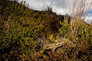 Forest gecko (Mokopirirakau granulatus) on Denniston Plateau, West Coast, NZ
