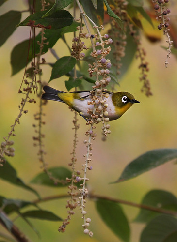 Madagascar White-eye