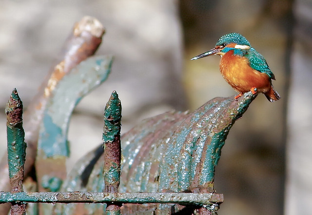 kingfisher on railings
