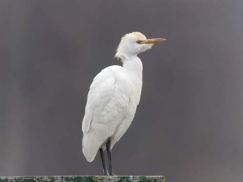 Airone guardabuoi 1 - Cattle egret 1 | by riccardof55