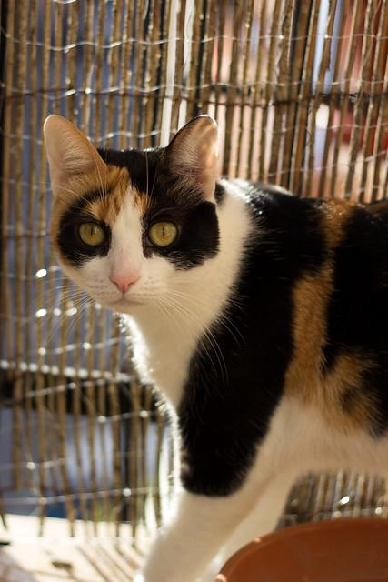 Ishtar, gatita tricolor Calicó súper cariñosa y juguetona esterilizada, nacida en Julio´17, en adopción. Valencia. 31870470987_97a8084741_z