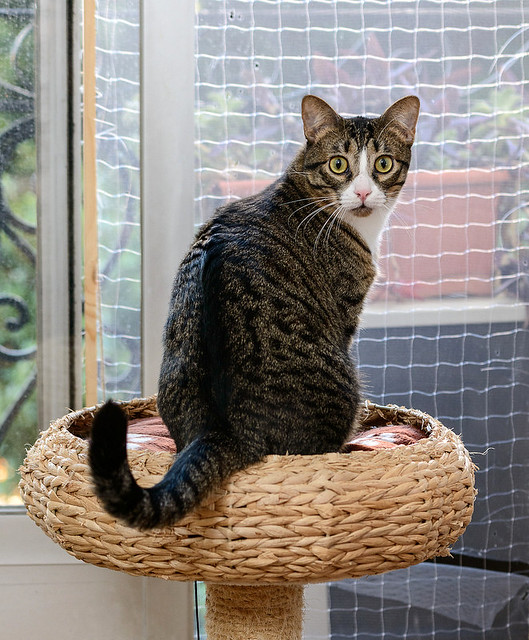 Efrén, gatito blanquipardo súper dulce positivo a inmuno nacido en Septiembre´17, en ADOPCIÓN ESPECIAL. Valencia. 32348451998_14f0d82afd_z
