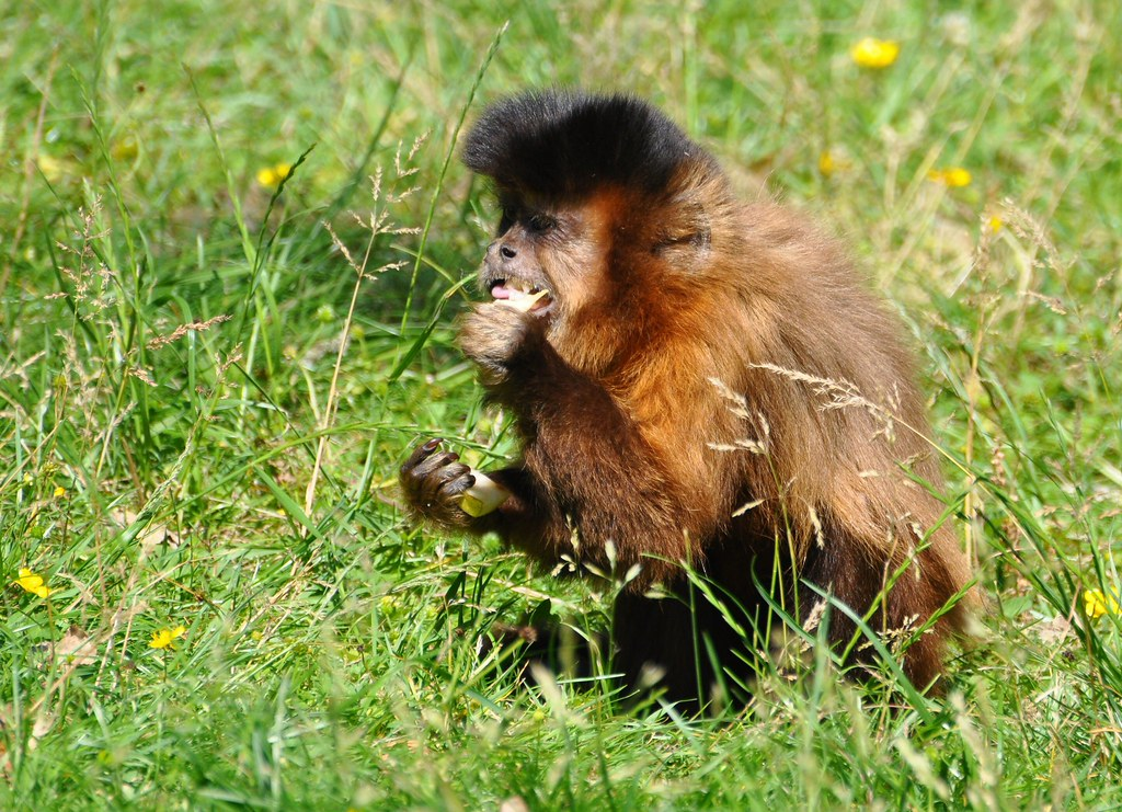 Cebus (Sapajus) apella - Brown Capuchin - Apelle ou Sapajou de Guyane ou Sajou Brun - 22/06/09