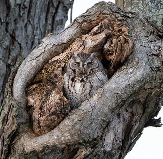 Staring Eastern Screech Owl   by antonfalco2