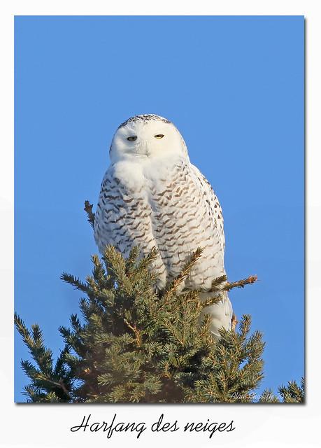 Harfang de neiges / Snowy Owl  153A5175