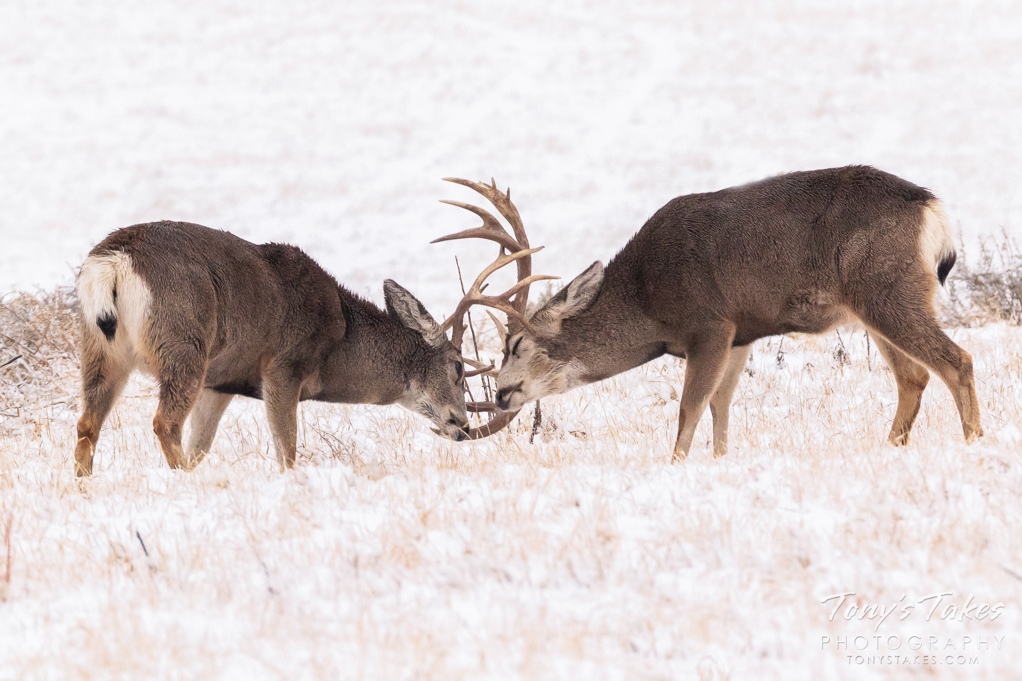 Mule deer bucks spar in the snow at the Rocky Mountain Arsenal National Wildlife Refuge. (© Tony's Takes)