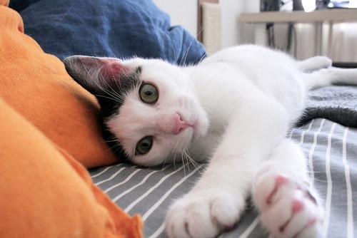 Morad, gatito blanco con toques negros muy juguetón esterilizado, nacido en Octubre´18, en adopción. Valencia. 46071392925_34fa17c427