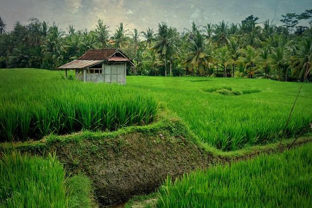 INDONESIEN, Bali , malerische Reisfelder rund um  Ubud, 17903/11115