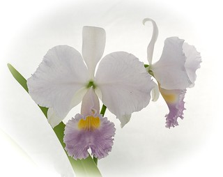 270119_Cattleya trianae coerulea  (Floralia)_0049 (4) (1 von 1) | by sabine_furtwaengler
