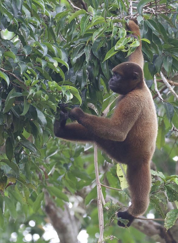 Common Woolly Monkey, Lagothrix lagothricha Ascanio_Peruvian Amazon 199A6230