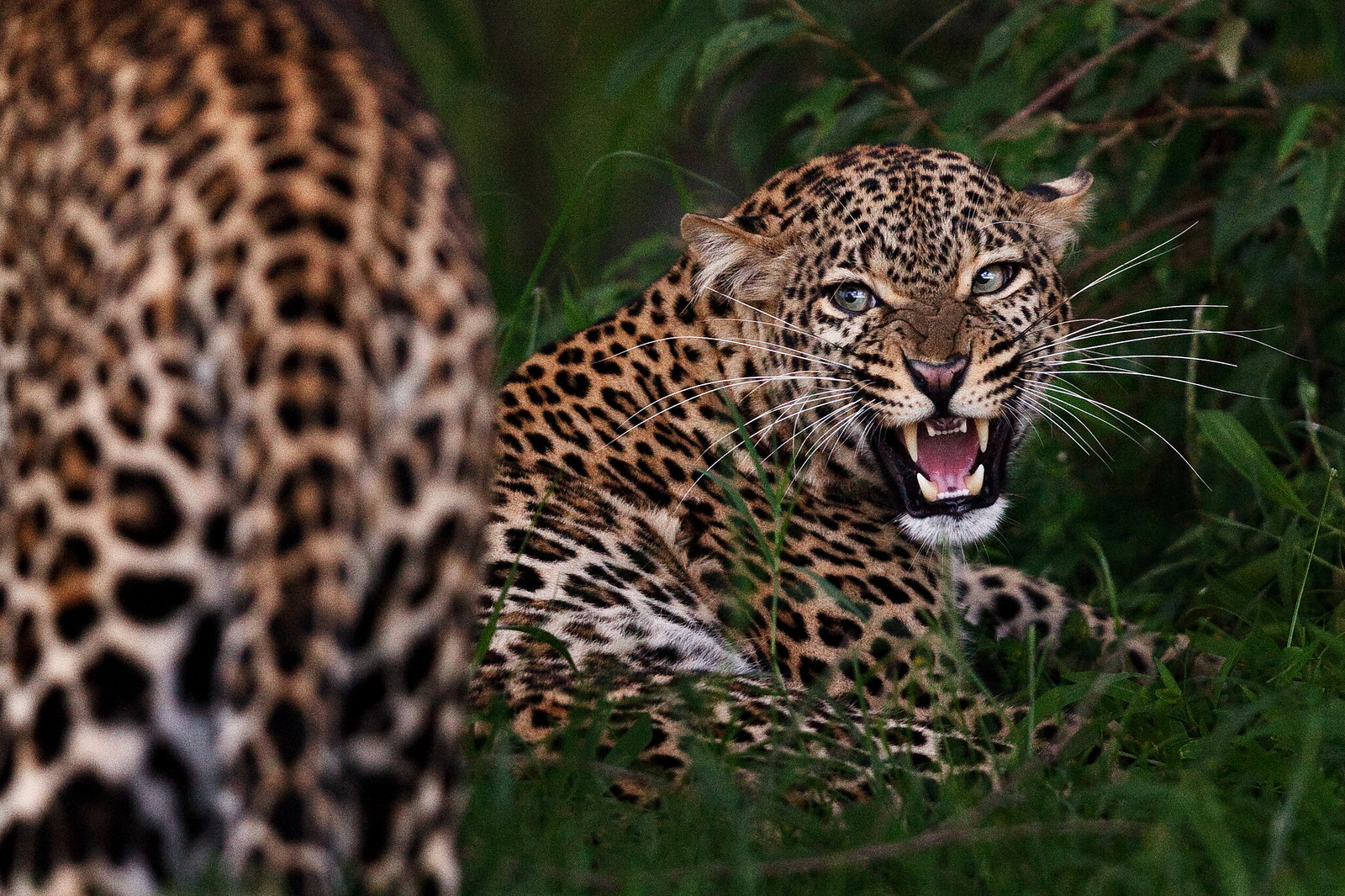 Growl of the Leopardess