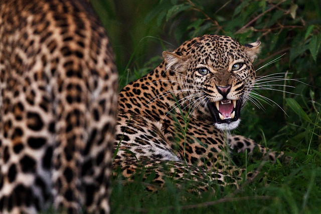 Previous: Growl of the Leopardess