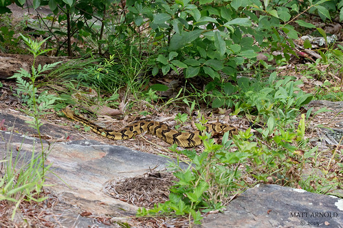 Timber Rattlesnake | by commercialam3n